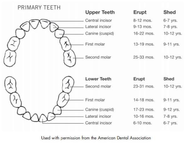 baby teeth schematic development