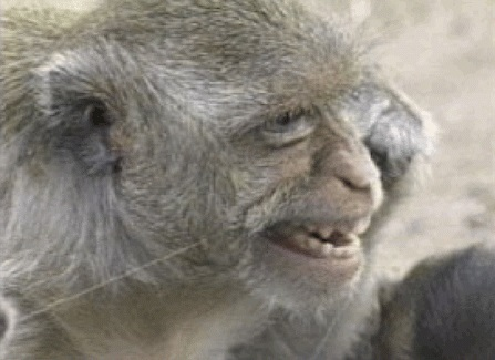 monkey, chimp uses human hair as tooth floss