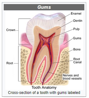cross section of tooth showing gums