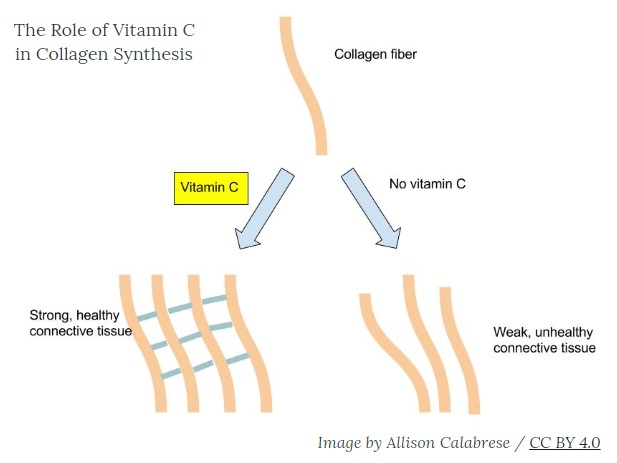 vitamin C collagen synthesis - image by Allison Calabrese